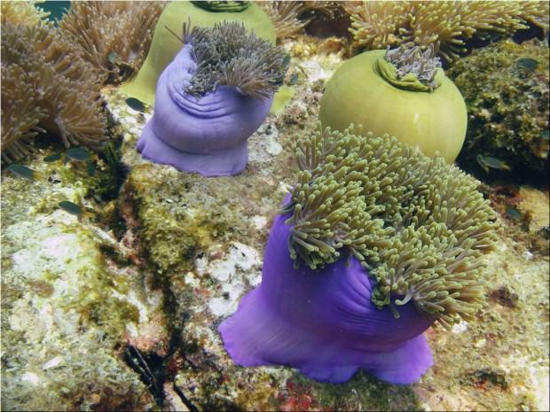 Великолепная ковровая актиния (лат. Heteractis magnifica) (англ. Magnificent Sea Anemone)