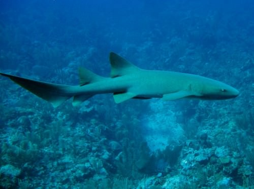 Усатая акула-нянька (лат. Ginglymostoma cirratum) (англ. Nurse shark)