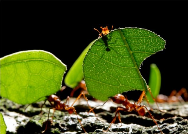 Муравьи рода Атта или муравьи-листорезы (лат.Atta)(англ. Leaf-cutting Ants)