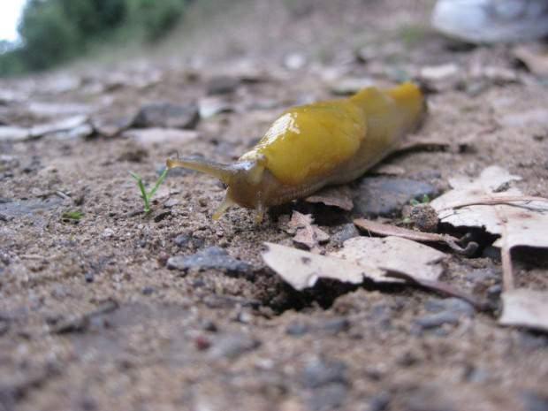 Банановый слизень (лат. Ariolimax) (англ. Banana slug)
