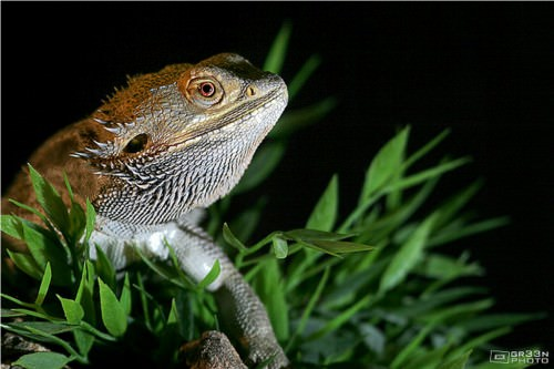 Бородатая агама (лат. Pogona vitticeps) (англ. Bearded Dragon)