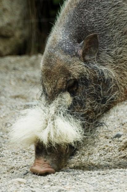 Бородатая свинья (лат. Sus barbatus) (англ. Bearded Pig)