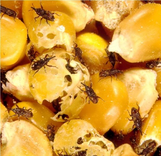 Долгоносики или слоники (лат. Curculionidae) (англ. Billbug)