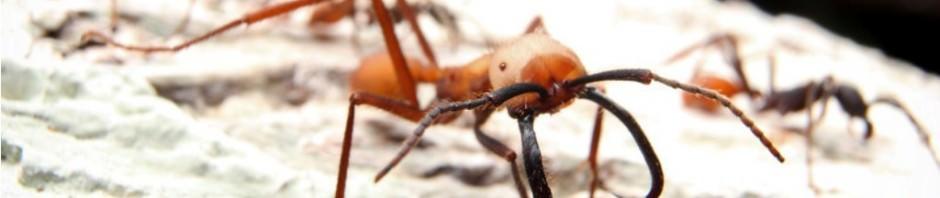 Кочевые муравьи Эцитоны Бурчелли (лат. Eciton burchellii) (англ. Army ants)
