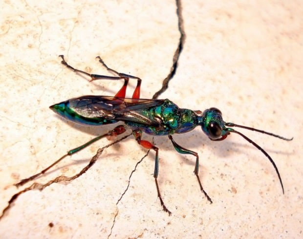 Изумрудная тараканья оса (лат. Ampulex compressa) (англ. Emerald Cockroach wasp or Jewel wasp)