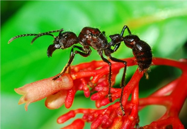 Парапонера или «муравей-пуля» (лат. Paraponera clavata) (англ. Bullet ant)