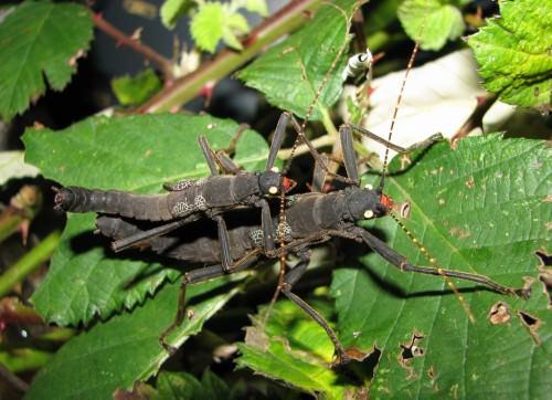 Кордильерский или перуанский палочник (лат. Peruphasma shultei) (англ. Black beauty)