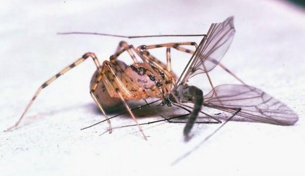Пауки-плеваки или сцитодесы (лат. Scytodidae) (англ. Spitting Spider)