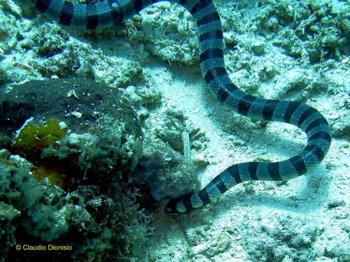 Желтогубый плоскохвост (лат. Laticauda colubrina) (англ. Yellow-Lipped Sea Krait)