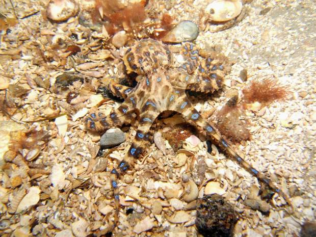Синекольчатый осьминог (лат. Hapalochlaena) (англ. Blue ring octopus)