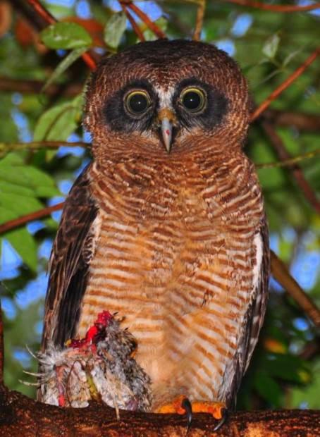 Совообразные (лат. Strigiformes) (англ.Owl)
