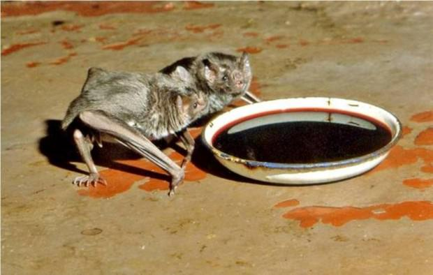 Обыкновенный вампир или десмод (лат. Desmodus rotundus) (англ. Vampire Bats)