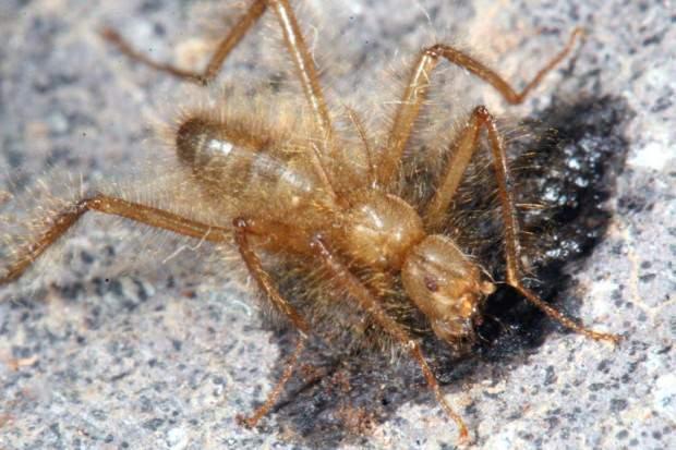 Волосатая муха Mormotomyia hirsuta (лат. Mormotomyia hirsuta) (англ. Terrible hairy fly)