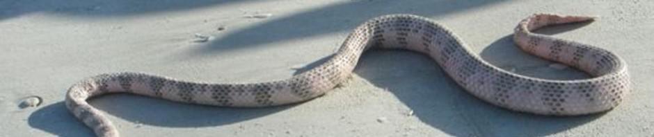 Морская змея Дюбуа (лат. Aipysurus duboisii)