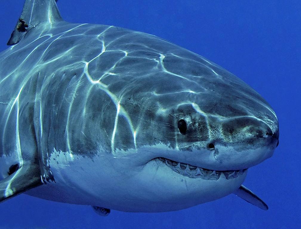 акула белая фото