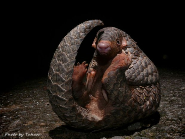 Ушастый ящер (Manis pentadactyla)