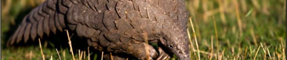 Панголины или Ящеры (лат. Pholidota)