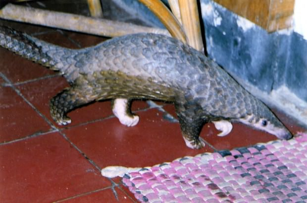 Яванский ящер (Manis javanica)