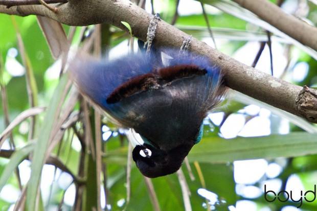 Райские птицы (лат. Paradisaeidae) (англ. Bird of Paradise)