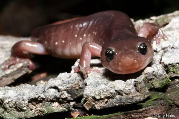 Древесная саламандра (Aneides lugubris)