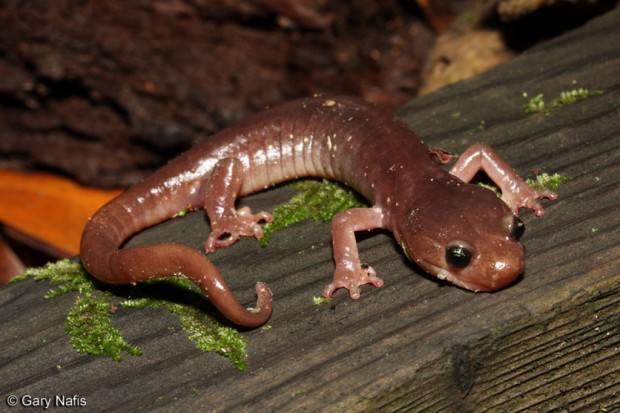 Безлегочные саламандры (лат. Plethodontidae) ( англ. Lungless Salamanders)