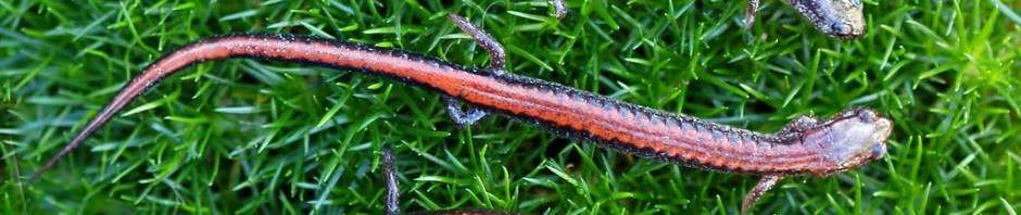 Красноспинная саламандра (Plethodon cinereus)