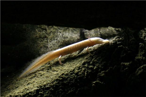 Техасская слепая саламандра (Typhlomolge rathbuni)
