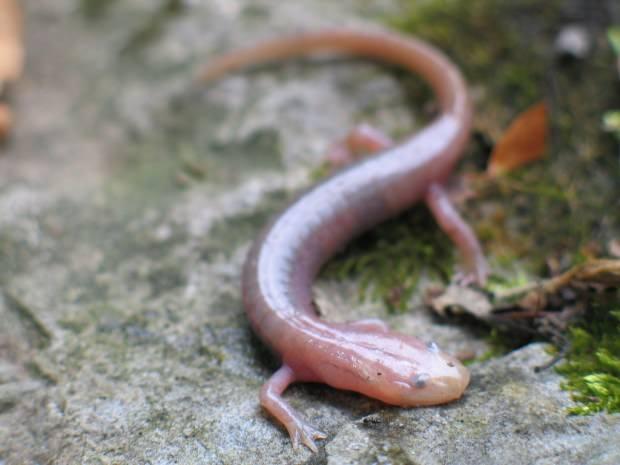 Подземная саламандра (Typhlotriton spelaeus)
