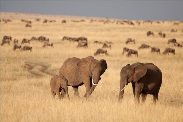 Африканский саванный слон (лат. Loxodonta africana) (англ. African elephant)