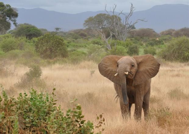 Африканский саванный слон (лат. Loxodonta africana)(англ. African elephant)