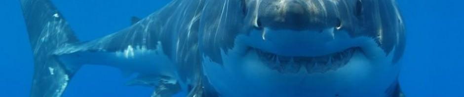 Большая белая акула (лат. Carcharodon carcharias)