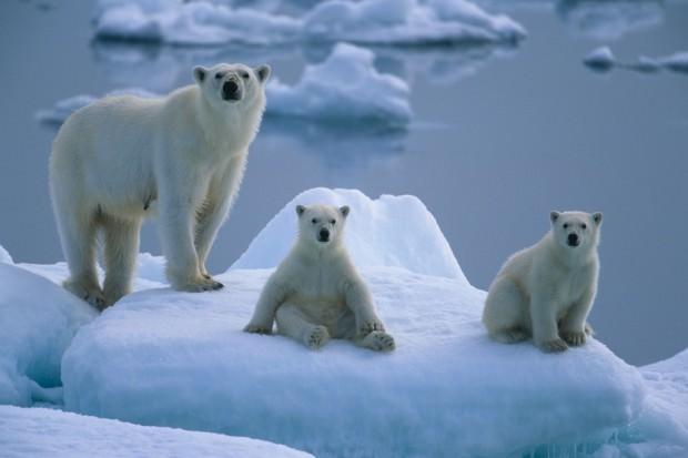 Белые медведи (лат. Ursus maritimus) (англ. Polar Bear)