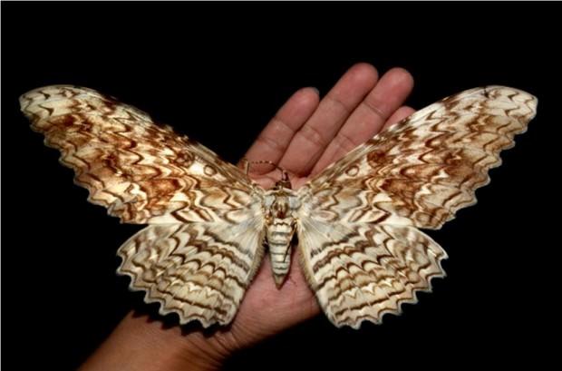 Самые большие в мире бабочки