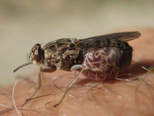 Муха цеце (лат. Glossina) (англ. Tsetse fly)