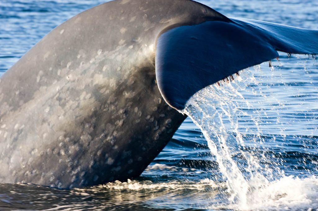 Звуки китов. Язык китов слушать онлайн | 682x1024