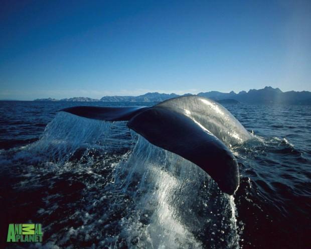 Голубой кит или синий кит (лат. Balaenoptera musculus)