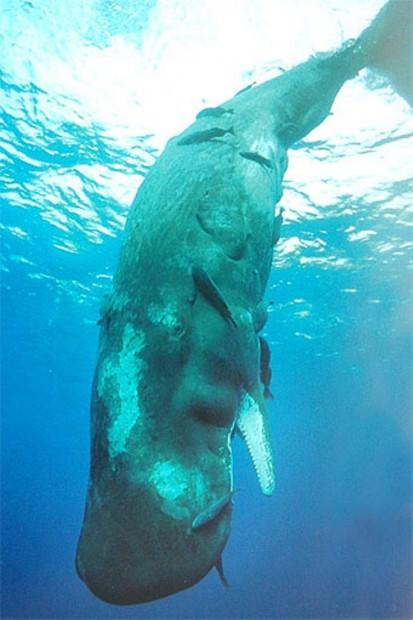 Кашалот (лат. Physeter catodon, Physeter macrocephalus) (англ. Sperm Whale)