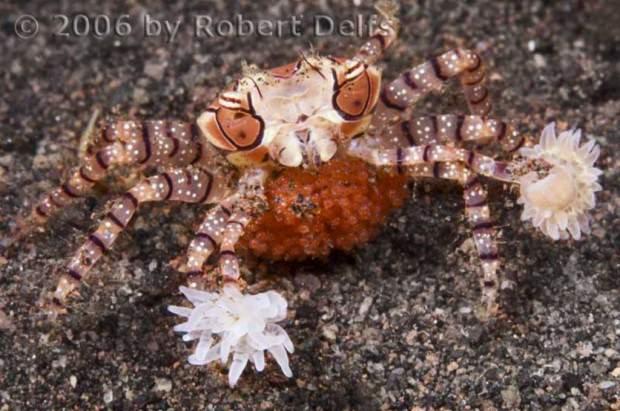 Краб-боксер или Пом Пом краб (лат. Lybia tesselata) (англ. Boxer crab)