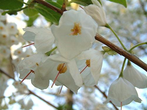 Ландышевое дерево или халезия  (лат. Halesia)