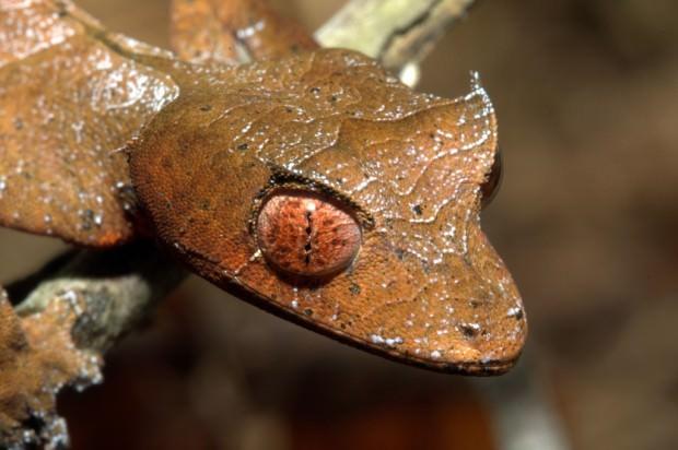 Фантастический листохвостый геккон или сатанинский геккон (лат. Uroplatus phantasticus) (англ. Satanic leaf-tailed gecko)