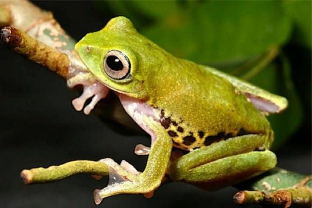 Лягушка-хамелеон или летающая лягушка Мулу (лат. Rhacophorus penanorum) (англ. Color-changing Frog)