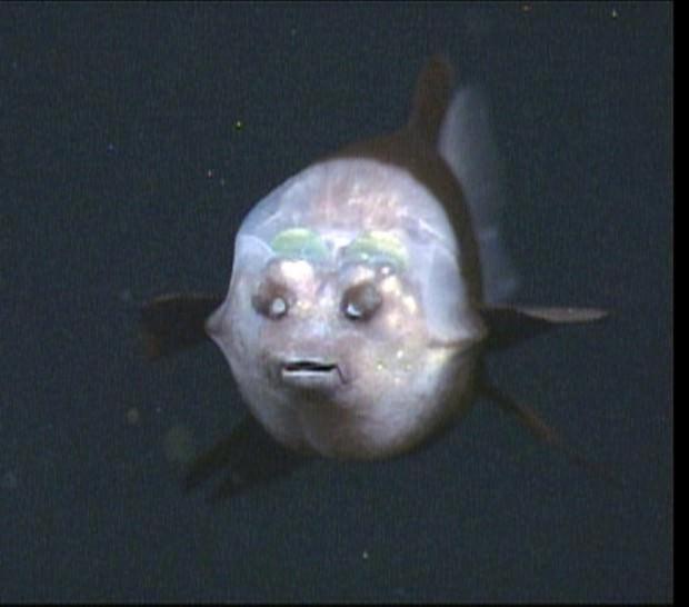 Малоротая макропинна или прозрачноголовая рыба (лат. Macropinna microstoma)