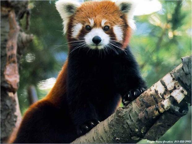 Малая или красная панда (лат. Ailurus fulgens) (англ. Red panda)