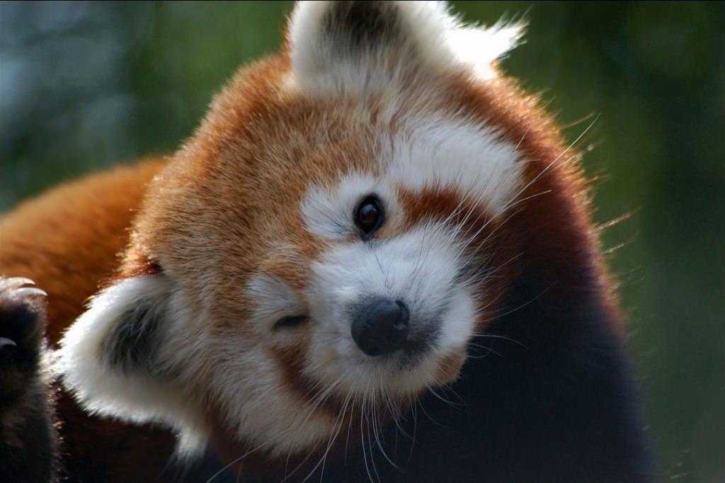 как выглядит красная панда фото