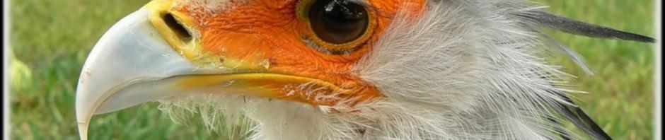 Птица-секретарь (лат. Sagittarius serpentarius)