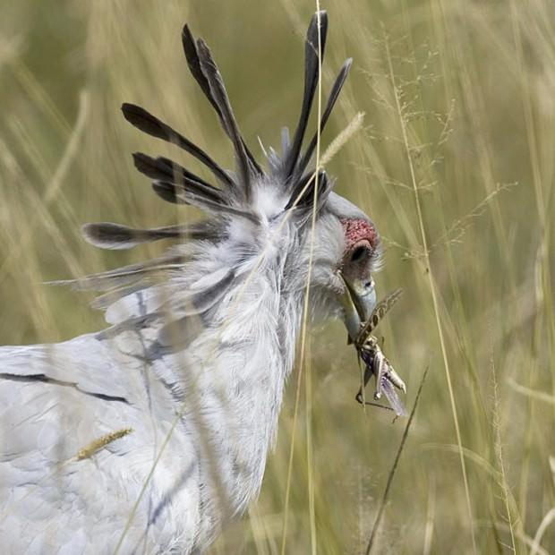 Птица-секретарь (лат. Sagittarius serpentarius)(англ. Secretary-bird)