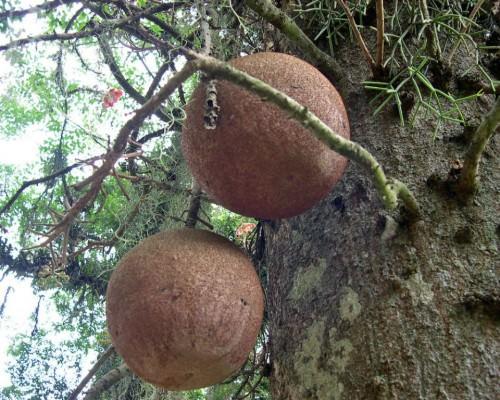 Курупита гвианская или «дерево пушечных ядер» (лат. Couroupita guianensis) (англ. Cannonball Tree)