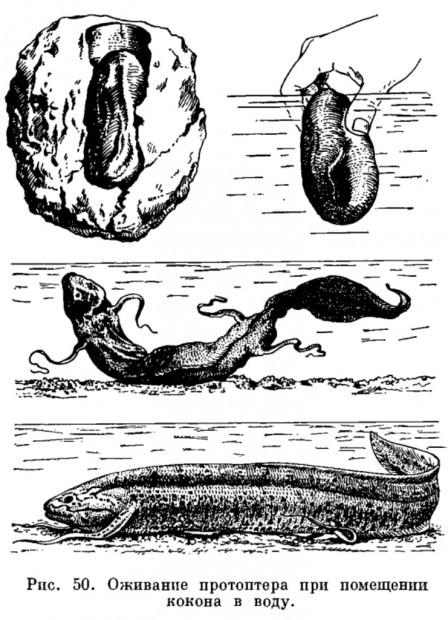 Протоптеры (лат. Protopterus) (англ. African Lungfish)
