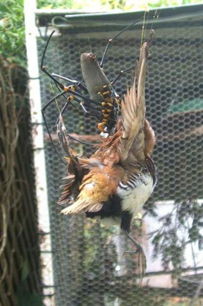 Паук-золотопряд Nephila komaci (лат. Nephila komaci)