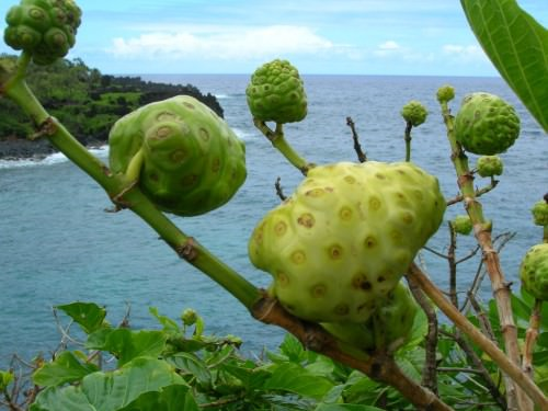 Сырное дерево или моринда цитрусолистная (лат. Morinda citrifolia) (англ. Great morinda, Indian mulberry, Cheese fruit, Noni)
